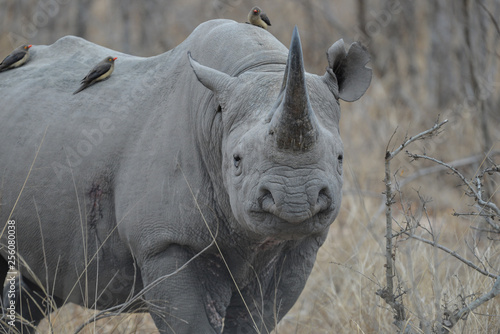 Poster Rhino Nashorn