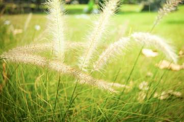 Pennisetum white flower grass meadow in the garden park