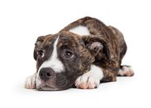 Brindle Pit Bull Puppy Lying O...