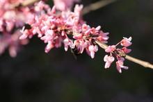 Texas Redbud Twig With Bee