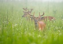 White Tailed Deer In Velvet An Open Field In Fog.