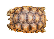 Armature Turtle Isolated / Tor...
