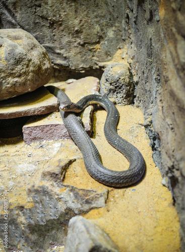 Photo  King cobra lying on the rock ground / Ophiophagus hannah