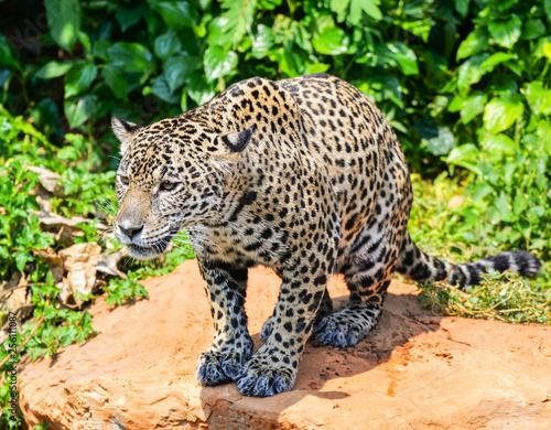 Foto  Tiger leopard jaguar animal wildlife hunting