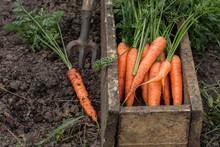 Fresh Carrot In Old Box. Veget...