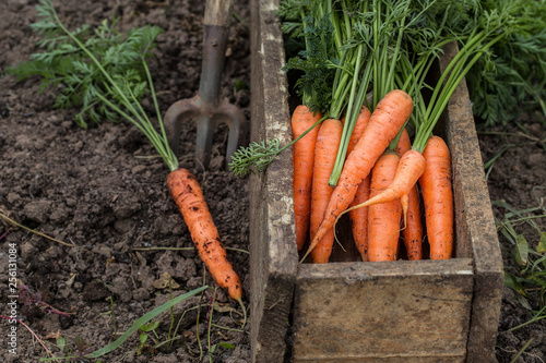 Fresh carrot in old box. Vegetables harvest Wallpaper Mural