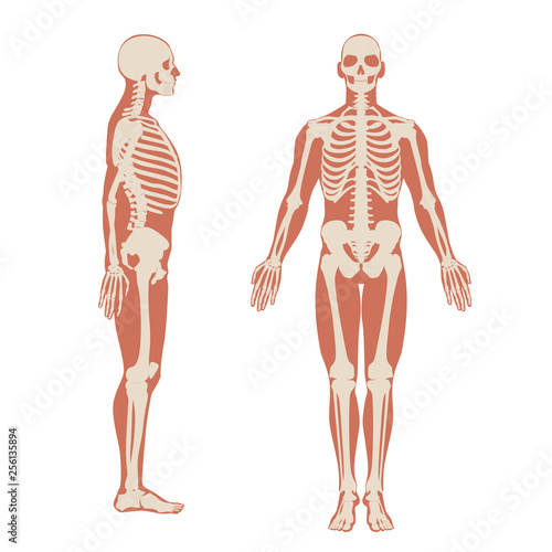 Fotografia Human skeleton front and side view