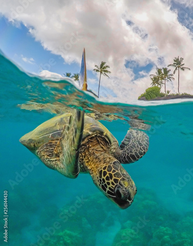 Photo  Green Sea Turtle with arm up above the water in a split shot