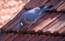 Feral Gray Pigeon On The Roof ...