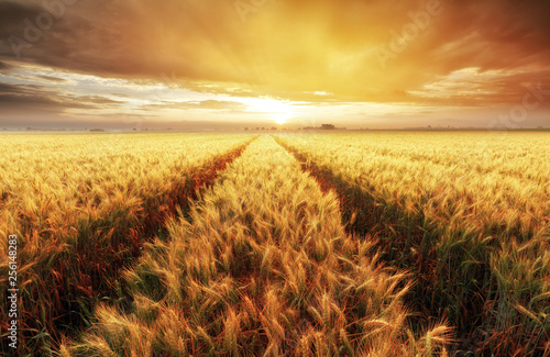 Poster Marron chocolat Wheat field with gold sunset landscape, Agriculture industry