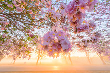 Pink Trumpet Tree Row With Mist In Sunrise Time / Pink Trumpet With Sunrise