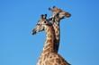 Zwei Giraffenbullen (giraffa camelopardalis) kämpfen im Kgalagadi Nationalpark in Südafrika