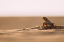 Lizard In The Desert On The Yellow Sand. Reptile In The Desert