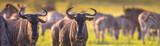 Fototapeta Sawanna - Common Wildebeest herd grazing panorama