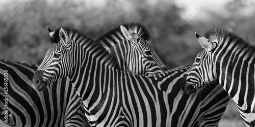 Poster Zebra Three Common Zebra grooming in black and white