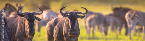 Common Wildebeest herd grazing panorama Canvas