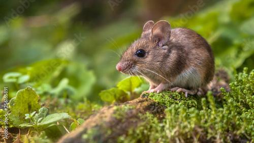 Obraz na plátně Cute Wood mouse on forest floor