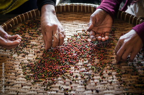 farm workers sorting fresh pepper peppercorns in kampot cambodia