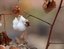 Cotton Boll Or Gossypium Hirsu...