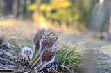 Fototapeta Tęcza - In may, the first flowers appear in the Ural mountains.
