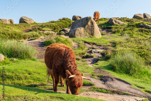 Foto  Cows on top of Higger Tor in the Peak District, South Yorkshire, England, UK