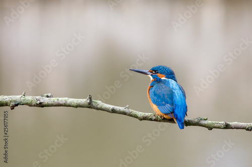 Leinwand Poster Common kingfisher, Alcedo atthis, perched on the branch