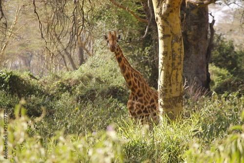 Photo  Giraffe peeking