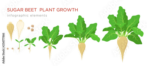 Fototapeta  Sugar beet plant growth stages infographic elements