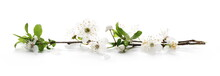 Blooming Plum Flowers Isolated On White Background