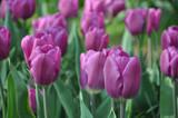 Fototapeta Tulipany - Fresh fragrant purple tulips in the garden