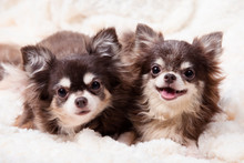 Funny Chihuahua Dog,two Chihuahua Dogs Lying On A Blanket,cute Dog Chihuahua. Animal Portrait.