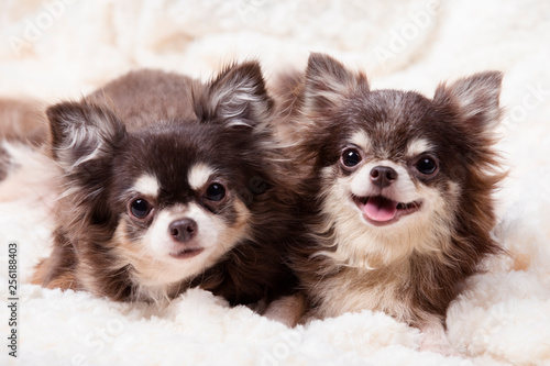 funny chihuahua dog,two chihuahua dogs lying on a blanket,cute dog chihuahua Canvas Print