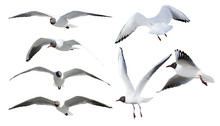 Seven Flying Black-headed Gulls On White