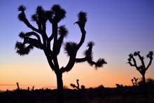 Joshua Trees National Park, Ca...