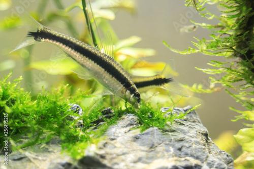 Siamese algae-eater in freshwater aquarium Fototapete