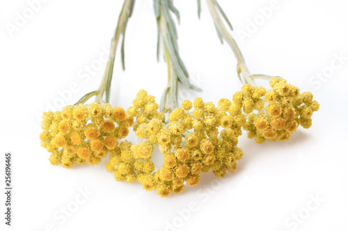 Photo helichrysum arenarium isolated on white. Top view
