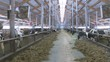cows and calves on a livestock farm
