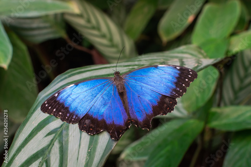 Fotografie, Obraz  Morpho peleides butterfly, with open wings, on a leaf, with green leaves backgro