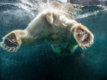 Action Closeup Of Polar Bear W...