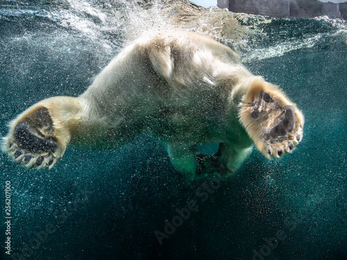 Poster Ijsbeer Action closeup of polar bear with big paws swimming undersea with bubbles under the water surface in a wildlife zoo aquarium - Concept of dangerous climate change, endangered wild animals