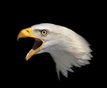 Isolated American Bald Eagle Head With A Black Background