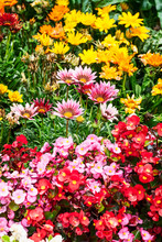 Summer Flower Bed With Gazania And Begonia Flowers