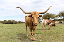 Texas Longhorn Momma And Her B...