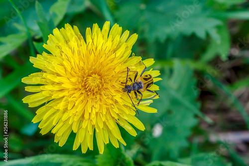 Fotografie, Obraz  Bright flower of the dandelion (Taraxacum officinale)