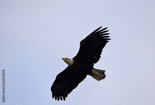 In de dag Eagle bald eagle with spread wing flying low above