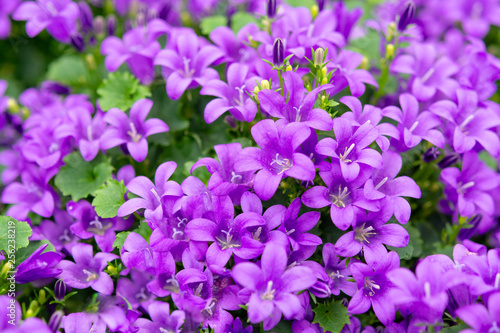Campanula americana or American bellflower, spring lilac flower for garden and d Canvas Print