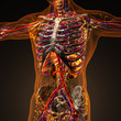 canvas print picture - Human circulation cardiovascular system with bones in transparent body