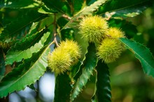 Close Up Of Chesnuts In Outdoors At Spring