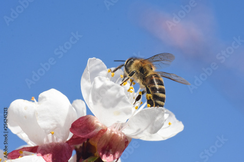 European honey bee( Apis mellifera) on apricot tree flower. Close up of honey bee on flower