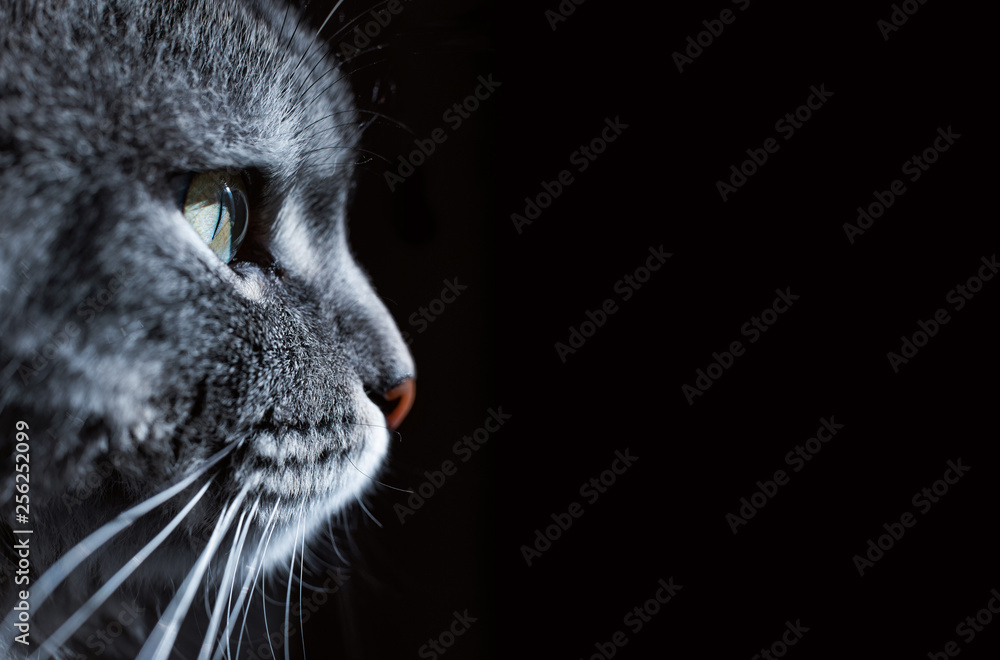 Fototapety, obrazy: Close up view of beautiful cat's green eye and nose. Gray cat on dark background. Beautiful textured fur. Macro. Pets concept. Animal portrait.